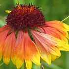Blanket Flower by lorilee