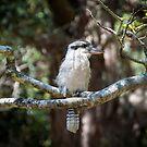 Mr Kookaburra by Rod Kashubin