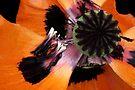 Poppy extravaganza by © Pauline Wherrell