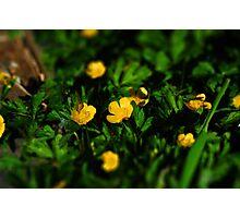 tiltshift buttercups Photographic Print