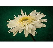 Leucanthemum Highland White Dream Photographic Print