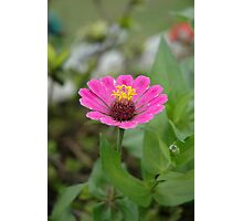 purple aster Photographic Print