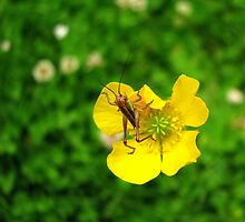 Baby Grasshopper on Wildflower by Patty Gross