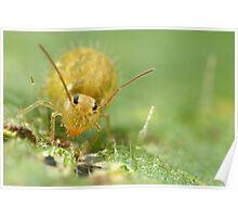 5X life size series  june 2010 globular springtail Poster