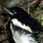 Magpie Fledgling by Jan  Tribe