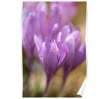 Crocus sativus  -  Gorce  Mountains Poland . by Brown Sugar . F** Views (691) . Favs(3) Dziękuję bardzo , Thanks a bunch !!! Poster