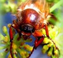 Portrait of a Summer Chafer by ©The Creative  Minds