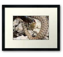 Italian fresh water snake Framed Print