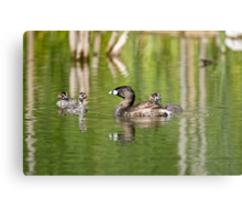 Pied Billed Grebe and Babies - Ottawa, Ontario Metal Print