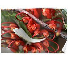 Grevillea variifolia Poster