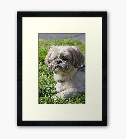 shih tzu  dog Framed Print