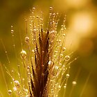 wheat of gold by Ingz