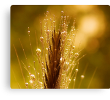wheat of gold Canvas Print