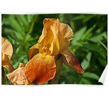Golden Iris Poster
