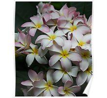 Plumeria flower Poster