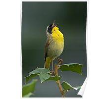 Common Yellowthroat Shouting Out Poster