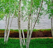A Grove of Birches 2 by Tom  Reynen
