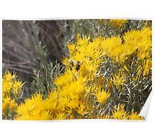 Wild Bee gathering Sagebrush Honey Poster