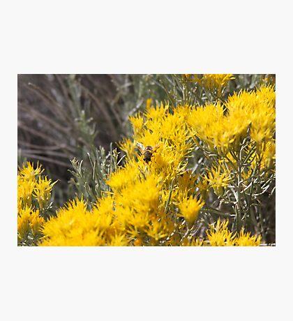 Wild Bee gathering Sagebrush Honey Photographic Print