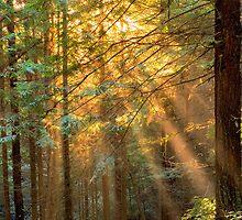 Sun Ray through Redwoods by Soumya Mitra
