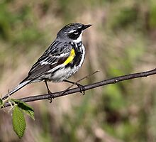 Myrtle / Yellow Rumped Warbler by Gary Fairhead