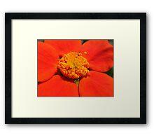 orange macro Framed Print