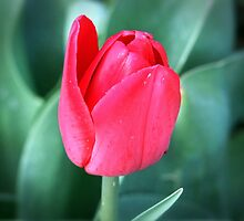 One Red Tulip by Jan  Tribe