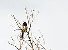 Perched in the Treetops ~Rufous-sided Towhee by Jan  Tribe