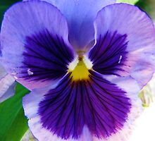 Pretty Purple Pansy by jonnysmomma