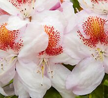 Rhododendron 'Mrs T. H. Lowinsky' Close-up by hortiphoto