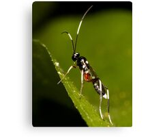Black & White Striped Ichneumon Parasite Wasp Canvas Print