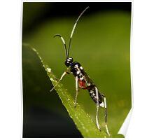 Black & White Striped Ichneumon Parasite Wasp Poster