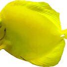 Yellow Tang by Susan Savad