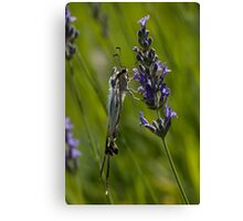 Scarce swallowtail butterfly Canvas Print