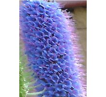 Blue Flower Spike Photographic Print