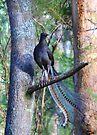 Superb Lyrebird. by Donovan Wilson