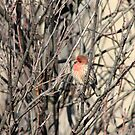 Male House Finch by Alyce Taylor