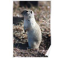 Richardson's Ground Squirrel Poster