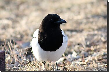 Black-Billed Magpie by Alyce Taylor