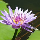 Mauve Water Lily by elsha