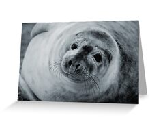 Baby seal at Donna Nook, Lincolnshire. Greeting Card
