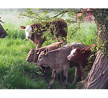 calves Photographic Print