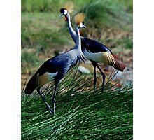 Crown Crested Cranes Photographic Print
