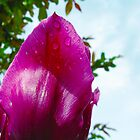 Tulip Drops by L J Fraser