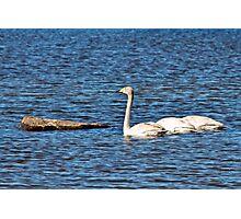 Swans parking place Photographic Print