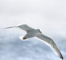 seagull by ziko
