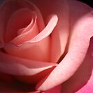 Pink Rose. by Vitta