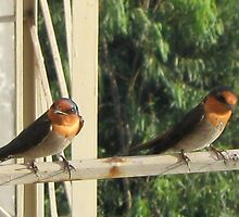 Pacific Swallows by crazybeakz