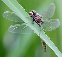 White-Faced Grasshugger by Wolf Read