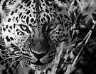 Leopard in Black and White by SWEEPER